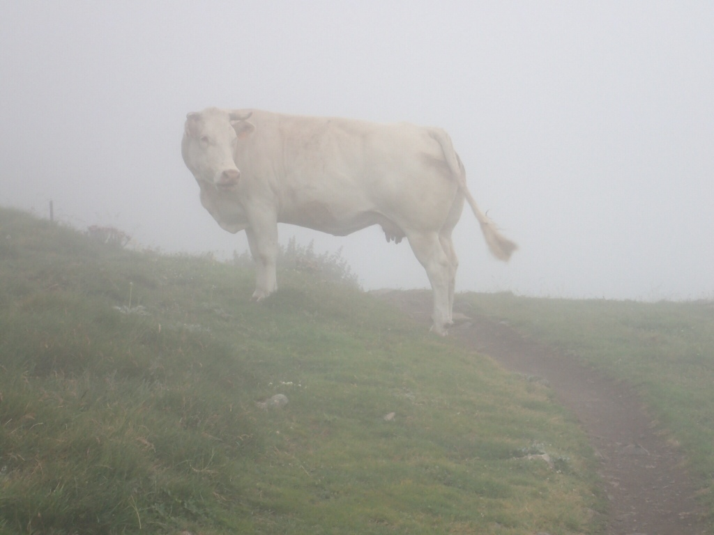 Cow wearing foggy weather camouflage.