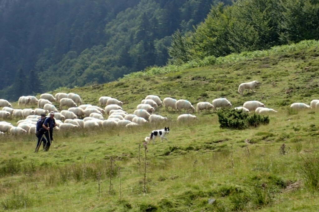 And here is a flock with a patou, above the sheep.