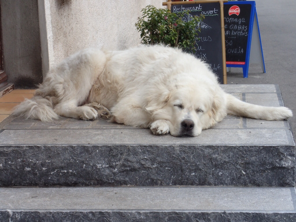 Pet Patou, sleeping outside a bar in town. Very friendly, sticks his nose between your knees and waits to be patted.