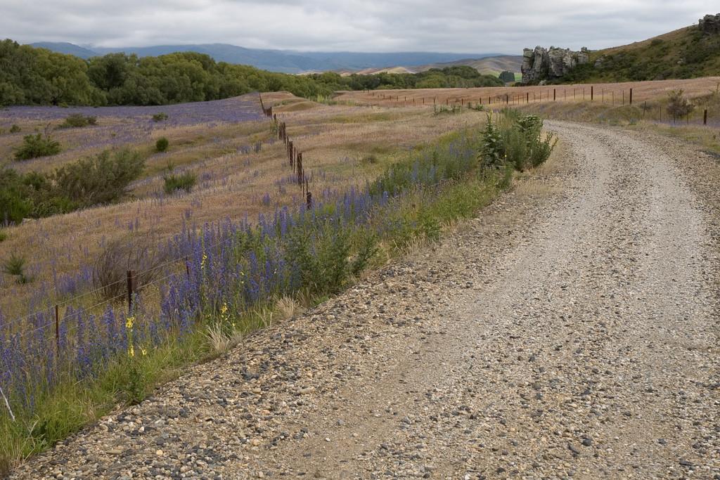 otago-rail-trail-lupines