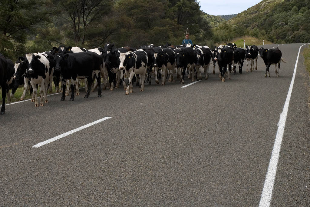 east-cape-cows