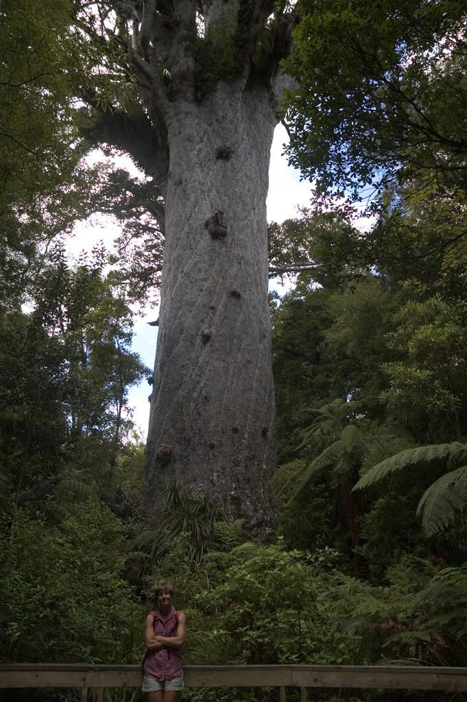 kauri-tree1